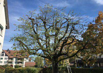 Rückschnitt Kirschbaum | Lupfig, 2020